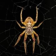 Foto: Spinne im Mittelbereich eines Spinnennetzes vor schwarzem Hintergrund